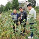 涵水镇禅林287亩平昌青花椒基地直销(可议价)