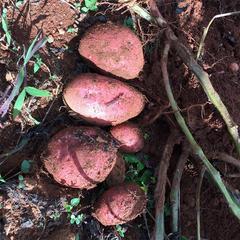 鲁甸县皓中农业有限责任公司 马铃薯青薯9号1级种