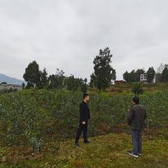 西兴镇高峰200亩平昌青花椒基地直销(可议价)