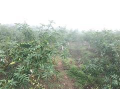 嘉陵区5.3万亩青花椒基地直供