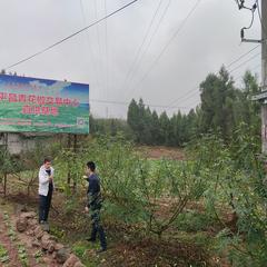 土垭镇石峰680亩平昌青花椒基地直销(可议价)