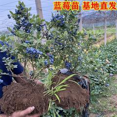 蓝莓苗木(兔眼)三年苗