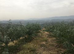 渠县1000亩青花椒基地直供