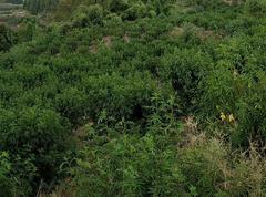 达州1500亩青花椒基地直销致荣花椒(可议价)