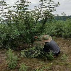 岩口镇红岩子500亩平昌青花椒基地直销(可议价)