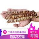 野生斑节虾 拍前联系