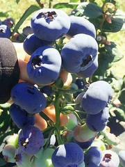 蓝莓苗木(兔眼)一年苗