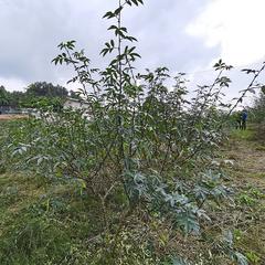 响滩镇黑水300亩平昌青花椒基地直销(可议价)