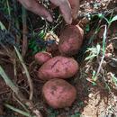 鲁甸县皓中农业有限责任公司 马铃薯青薯9号原种