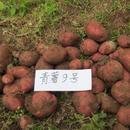 鲁甸县皓中农业有限责任公司 马铃薯青薯9号商品薯