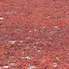 汉源三交乡9月鲜红花椒10000公斤 第三场拍卖