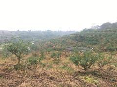 高坪1.2万亩青花椒基地直供22.5元一斤