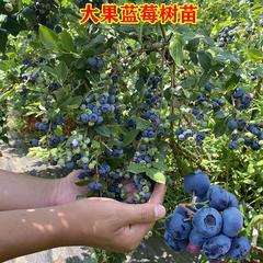 蓝莓苗木(兔眼)二年苗