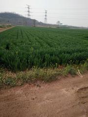 山东 文登 张家产镇 80亩 耕地 出租 600元/亩/年